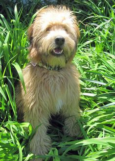 Soft Coated Wheaten Terrier dog art portraits, photographs, information and just plain fun. Also see how artist Kline draws his dog art from only words at drawDOGS.com #drawDOGS http://drawdogs.com/product/dog-art/soft-coated-wheaten-terrier-dog-portrait-by-stephen-kline/ He also can add your dog's name into the lithograph.