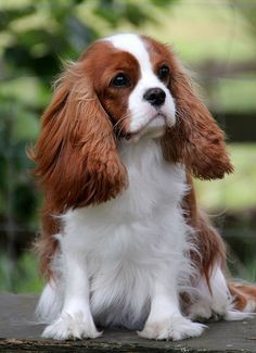 Cavalier King Charles Spaniel - Such beautiful dogs