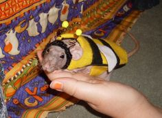 A bee costume for your pet rat? & 160 best Rats Love Clothes images on Pinterest | Rats Pet rats and ...