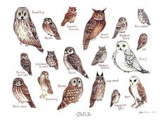 This watercolor painting features the Owls of North America as a field guide chart. It features the following owls:    Barn Owl  Barred Owl  Boreal
