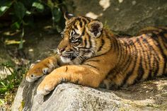 Sumatran Tiger Cub - Flamingo Land   Flickr