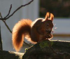 Mühsam ernährt sich das Eichhörnchen … Kangaroo, Fox, Animals, Squirrels, Animales, Baby Bjorn, Animaux, Animal, Animais