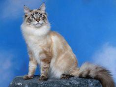 classic_lynx_point_cat