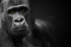 Check out Gorilla by Chuck Pearson Photography on Creative Market http://crtv.mk/jVon