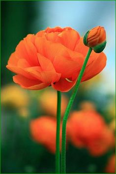 Orange ranunculus I love orange flowers. Colorful Roses, Orange Flowers, Orange Poppy, Exotic Flowers, Orange Color, Pale Orange, Red Poppies, Yellow Roses, Floral Flowers