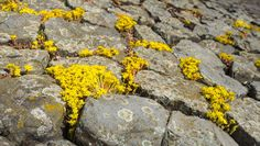 20429980-Yellow-flowering-Goldmoss-Stonecrop-or-Sedum-acre-on-and-between-the-basalt-blocks-of-a-Dutch-dike–Stock-Photo