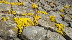20429980-Yellow-flowering-Goldmoss-Stonecrop-or-Sedum-acre-on-and-between-the-basalt-blocks-of-a-Dutch-dike–Stock-Photo