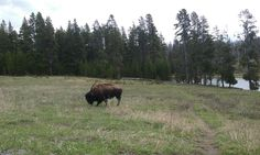 Roadside bison, Yellowstone National Park