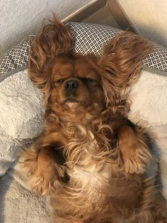 Cavalier King Spaniel, Pup, Dogs, Animals, Animales, Dog Baby, Animaux, Pet Dogs, Puppies