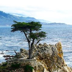 #Throwback to #lonecypress which has weathered close to 250 years of #pacific storms and winds. The Lone Cypress is a testament to the hardiness of these #trees. Teaches us all a lesson how to stay strong and hold your fort no matter what!  I hope this tree lives another century and teaches our future generation. #california #17miledrive #californiadiaries #pebblebeach #Delmonte #forests #pacificbeach #instapic #traveldiaries #montereylocals #pebblebeachlocals - posted by Prakir…