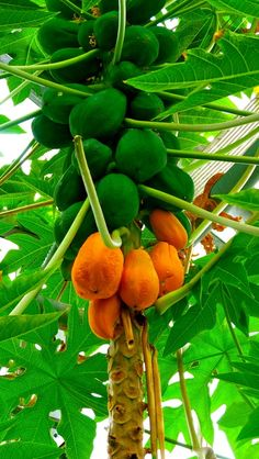 #Papaya #tree