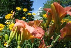 The Daylily Gardens are in full bloom at the Conservatory.