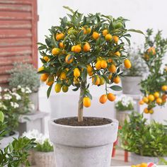 - 5 Best Citrus Trees For Containers (Growing Citrus In Pots) Learn about 5 best citrus trees for containers as Growing Citrus in Pots is not difficult due to their low height and low maintenance! Potted Fruit Trees, Citrus Trees, Trees In Pots, Lemon Tree Potted, Container Plants, Container Gardening, Gardening Tips, Organic Gardening, Growing Tree