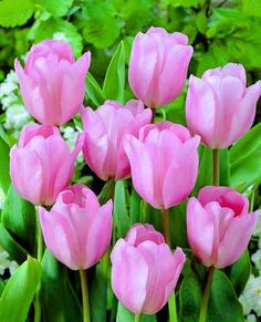 Tulips symbolize 'Fame, Love' in the Victorian Language of Flowers. Pink Tulips, Tulips Flowers, My Flower, Daffodils, Spring Flowers, Beautiful Flowers, Beautiful Things, Planting Tulips, Tulips Garden