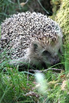 In Switzerland a hedgehog, Adelaide, lived in our garden. Sweet creatures. I really miss them.