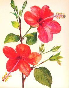 hibiscus flower botanical print - Google Search