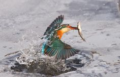 Image from http://i.telegraph.co.uk/multimedia/archive/02115/kingfisher_2115269i.jpg.
