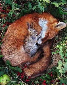 The fox and the h-h-h hare?