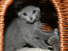 The Russian Blue Cat is a cat breed that comes in colors varying from a light shimmering silver to a darker, slate grey. They develop close bonds with their owners and are sought out as pets due to their personalities, beauty and coat.  #Russian #Blue #Cat #Breed #RussianCat #Russianbluecat