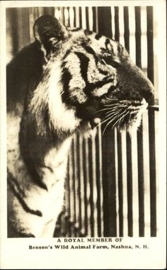 Nashua NH Benson's Wild Animal Farm Tiger Real Photo Postcard | eBay
