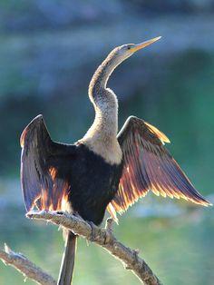 anhinga (always drying their wings because they swim)