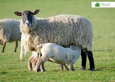 Springtime in Gloucestershire Spring Time, Lamb, Photographs, Country, Pretty, Animals, Animales, Rural Area, Animaux