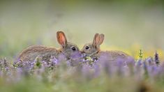 Bing Image Archive: European rabbit (Oryctolagus cuniculus) kit greeting parent, France (© Remy Courseaux/Biosphoto/Minden Pictures)(Bing Canada)