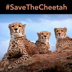 December 5 is National Cheetah Day! Spread awareness to help #savethecheetah!