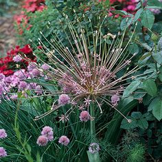 Allium Schubertii - Allium Schubertii is one of the most dramatic alliums. It shows off volleyball-size clusters of lavender flowers. It grows 2 feet tall. Deer Resistant Garden, Fall Planting, Allium, Lavender Flowers, Volleyball, That Look, Bloom, Bulb, Gardens