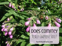 Does Comfrey Really Improve Soil? -- Comfrey has long been touted as a miracle plant for its soil-boosting properties by permaculture enthusiasts. Does it really heal damaged soil?