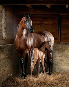Beautiful Bay Arabian Mare and Her New Foal Standing in the Corner of a Box Stall.