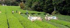 Ručně sbíráný čaj je pro některé známkou zaručené kvality. Stroje byly vždy určitým strašákem, nicméně s dobou pokročila i kvalita strojově sklízených čajů... Proč a jak se využívá strojů na plantážích se dnes podíváme na www.tastea.cz