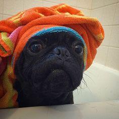 wash the pug