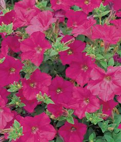 Lavender Wave™ Hybrid Petunia Seeds and Plants, Annual Flower Garden -$5.95/15