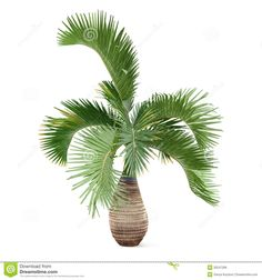 Palm Tree Isolated. Hyophorbe Lagenicaulis - Download From Over 38 Million High Quality Stock Photos, Images, Vectors. Sign up for FREE today. Image: 35247289
