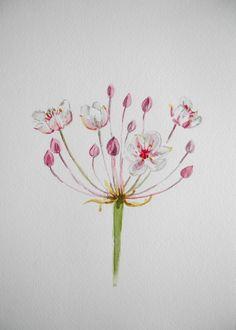 Juni in Fotos – Schwanenblume Aquarell