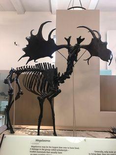 Megaloceros one of the largest deer to ever live : Naturewasmetal Irish Elk, Extinct Animals, Animal Skulls, Taxidermy, Fossils, Anime Manga, Moose Art, Creatures, Dinosaurs
