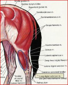 Horse Hind Muscles