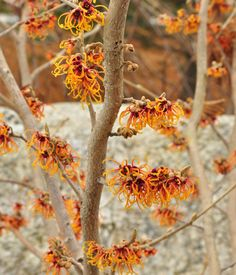 Witch Hazel. Winter blooming. I don't know anything about it, but I love it!