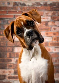 Wass satt? Is that bacon flavored camera? Almost looks like my niece Boxer dog named Gretta.