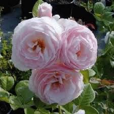WOW! What a wonderful type of rose..