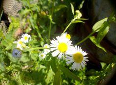 #daisy #flowers #susanesphoto