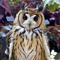 Asio clamator - Striped Owl