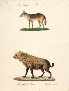 BRODTMANN, Carl Joseph. Der Schakal, Die gefleckte Hyaene The Jackal, The spotted Hyena]