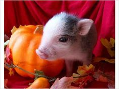 Community Post: 23 Pickup Lines From Teacup Pigs Teacup Piglets, Cute Piglets, Little Pigs, This Little Piggy, Cute Baby Animals, Funny Animals, Farm Animals, Mini Pigs, Baby Pigs