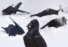 """Ravens are the only animal that like to """"be silly"""" and will roll around in the snow or roll down snow hills  (something I learned from Animal Planet's """"Wild Russia: Siberia"""" ) soooo cute!!- Onyx Draven"""