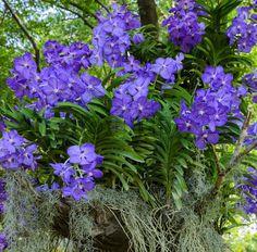 Image of 'Blue vanda or Autumn Lady's Tresses orchid. Vanda coerulea flower.'