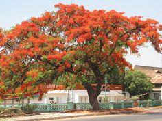 Tabachin o verdadero Flamboyan (Delonix regia) arbol tropical nativo del Africa e introducido en Mexico