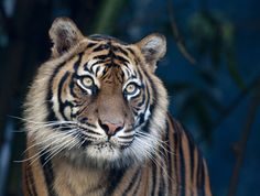 Tiger-so majestic and so endangered.