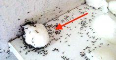 Iedere lente is het weer zo ver, de mieren laten zichzelf weer zien. Je zal er eerst een paar zien lopen op het aanrecht daarna zie je een paar over de vloer lopen. Het idee is niet zo fris, maar over het algemeen brengen ze geen gezondheidsrisico met zich mee. Heb je mieren in huis? …